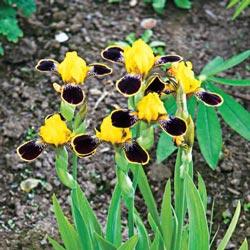 Bumblebee Deelite Miniature German Iris