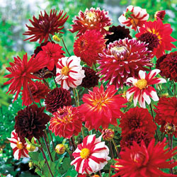 Fire & Ice Dahlia Mix