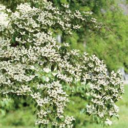 Flowering Dogwood Starter Pack