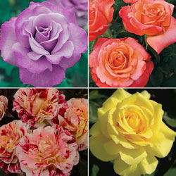 Our Choice Jumbo Floribunda Rose