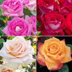 Jumbo Roses