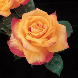 Our Choice Jumbo Hybrid Tea Rose