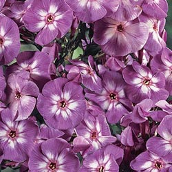 Laura Tall Phlox