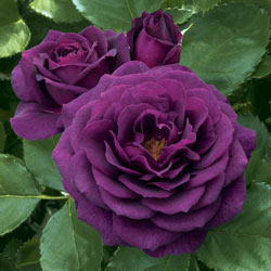 Ebb Tide<sup>™</sup> Rose