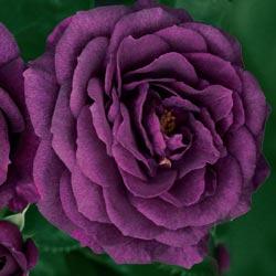 Ebb Tide<sup>&trade;</sup> Rose