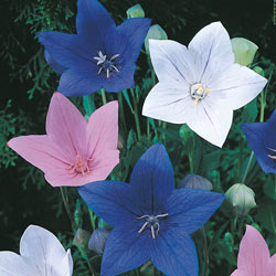 Mixed Balloon Flowers