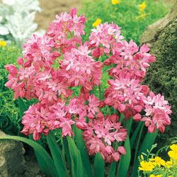 Alpine Rosy Bells