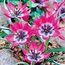 All Blue Eyes Tulip