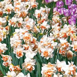 Green Cheeked Silver Bells