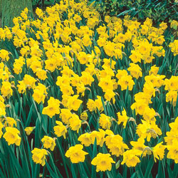 Yellow Naturalizing Daffodils
