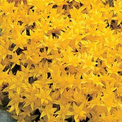 Golden Creeping Sedum