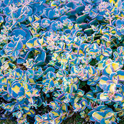 Variegated Creeping Blue Sedum