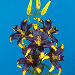 Black Gold Lily