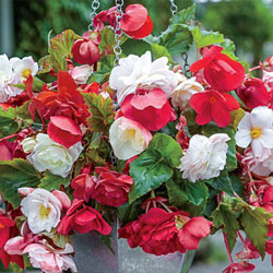 Fragrant Cascading Begonia Blend