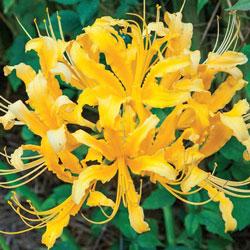 Golden Lycoris