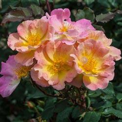 Watercolors Home Run<sup>&reg;</sup> Shrub Rose