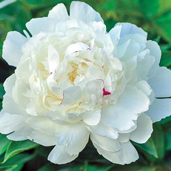 Parfum de Bloom® Festiva Maxima Peony