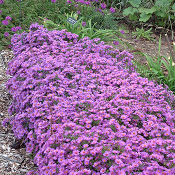 Wood's Purple Aster