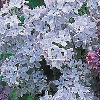 Lavender French Hybrid Lilac