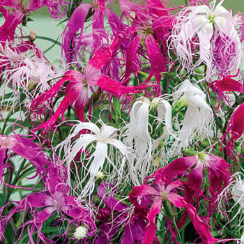Beard Dianthus Mix