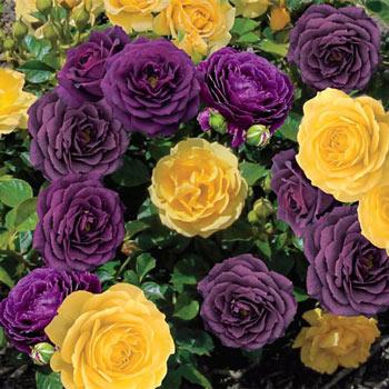 2-in-1 Rose