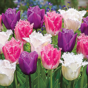Ice Crystal Tulip Trio