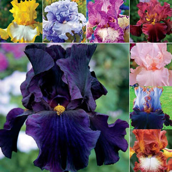 Bold and Beautiful German Iris Collection