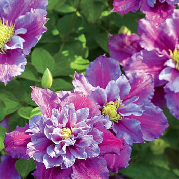 piilu colorful clematis vine michigan bulb. Black Bedroom Furniture Sets. Home Design Ideas
