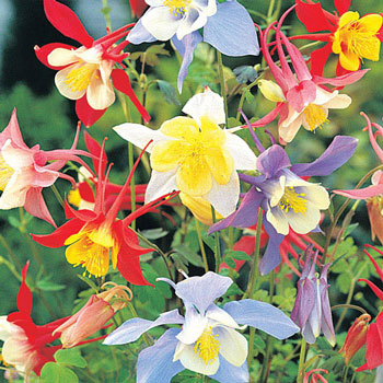 Mixed Columbine