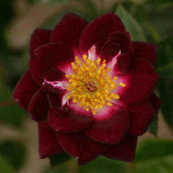 Diamond Eyes™ Miniature Rose