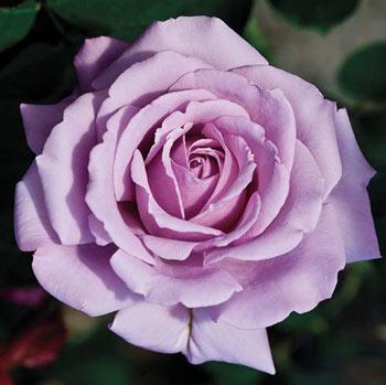 Love Song™ Floribunda Rose