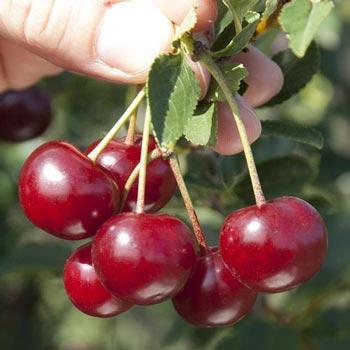 Romeo Dwarf Cherry