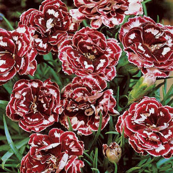 Laced Romeo Dianthus