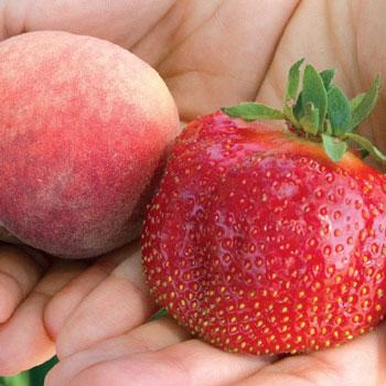 Juicy Giant Strawberry