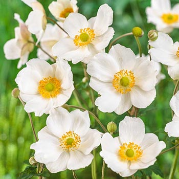 Honorine Jobert Japanese Anemone