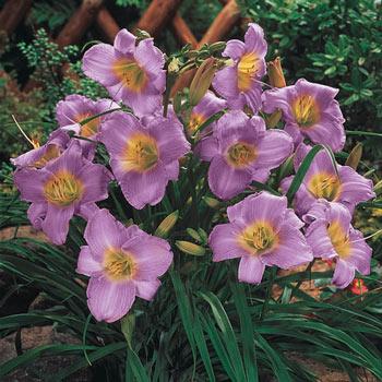 Purple de Oro Dwarf Daylily