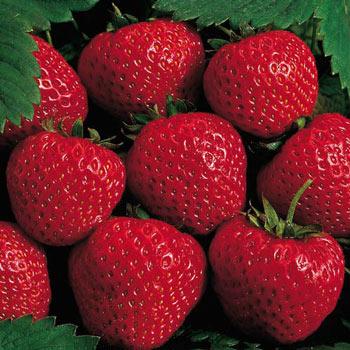 Strawberry Everbearing