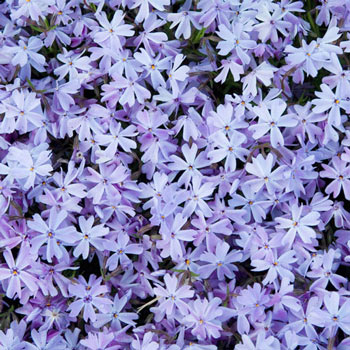 Blue Carpet Phlox