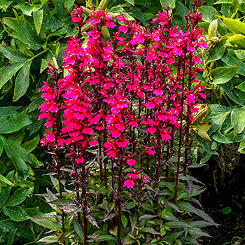 Starship Deep Rose Cardinal Flower