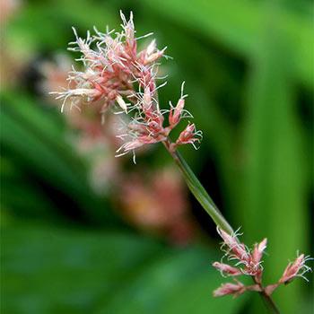 Cherry Blossom Sedge
