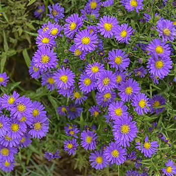 Lilac Blue Kickin® Aster