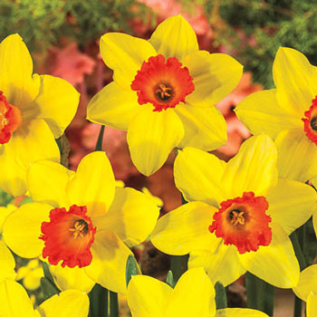 Red Devon Large Cupped Daffodil