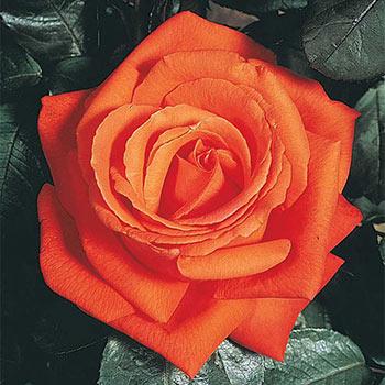 Mango™ Veranda® Rose