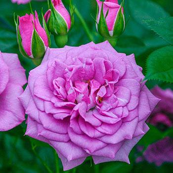Lavender™ Veranda® Rose