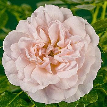 Cream™ Veranda® Rose
