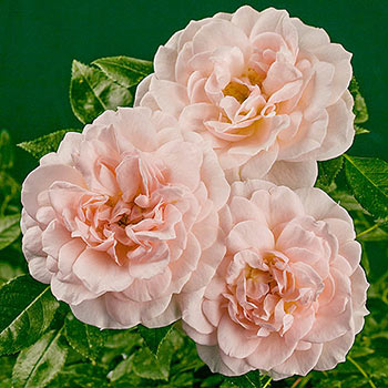 Cream™ Veranda® Rose