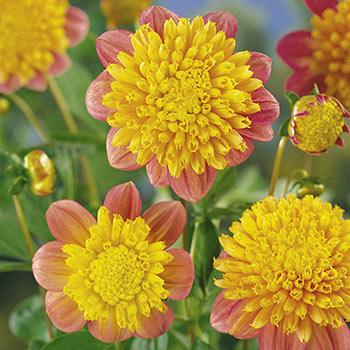 Anemone Dahlia Honey