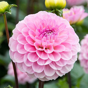 Pompom Dahlia Wizard Of Oz