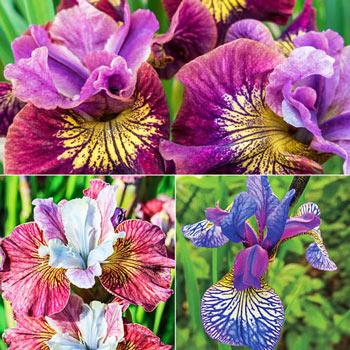 Siberian Iris Trio