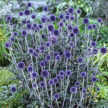 Veitch's Blue Globe Thistle